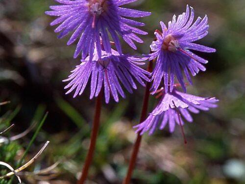 La Soldanella alpina è fra le prime forme di vita ad esplodere, fra le erbe ancora ingiallite dal lungo sonno invernale